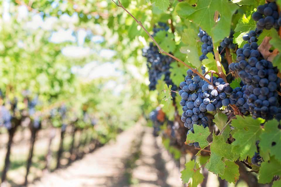 A vineyard growing grapes for a wine distributor.